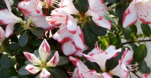 azalee fleur jardin
