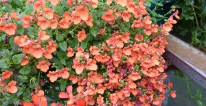 fleurs begonia