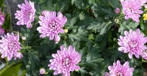 fleurs chrysanthème