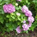 hortensia-rose