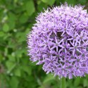 allium violet foncé zoom