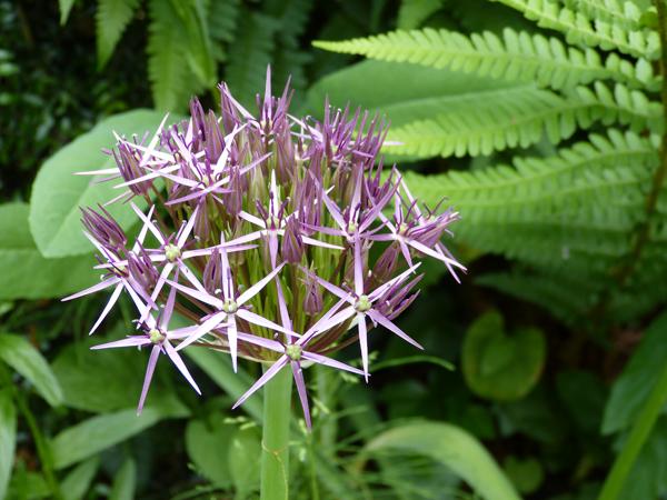 Allium violet foncé ail d'ornement