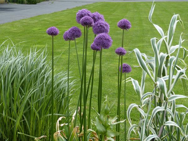 Allium violet foncé, ail d'ornement
