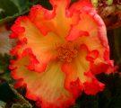 begonia tubereux