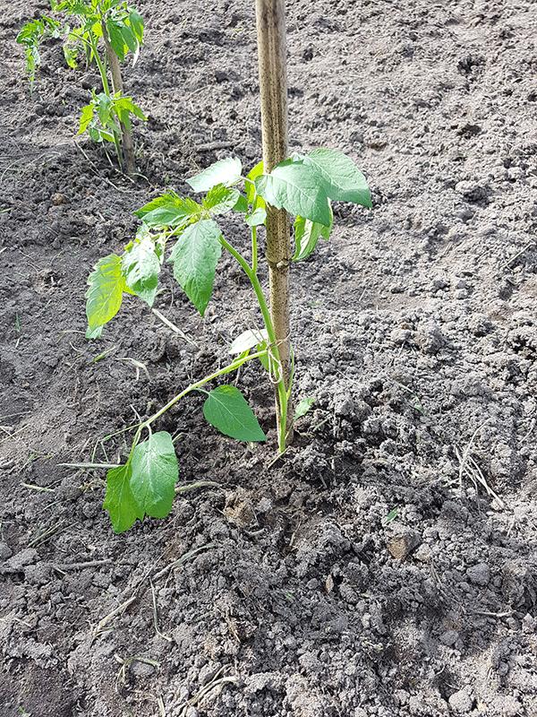 plant de tomate tuteuré et arrosé