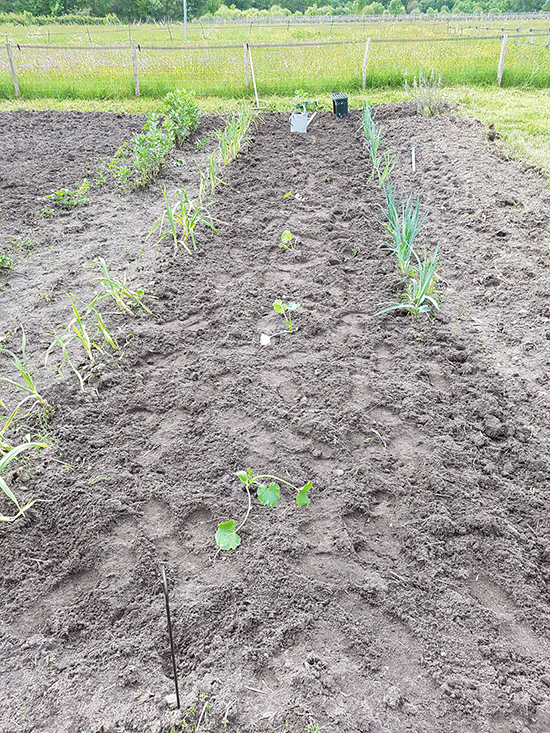 plants de courgette bien espacés