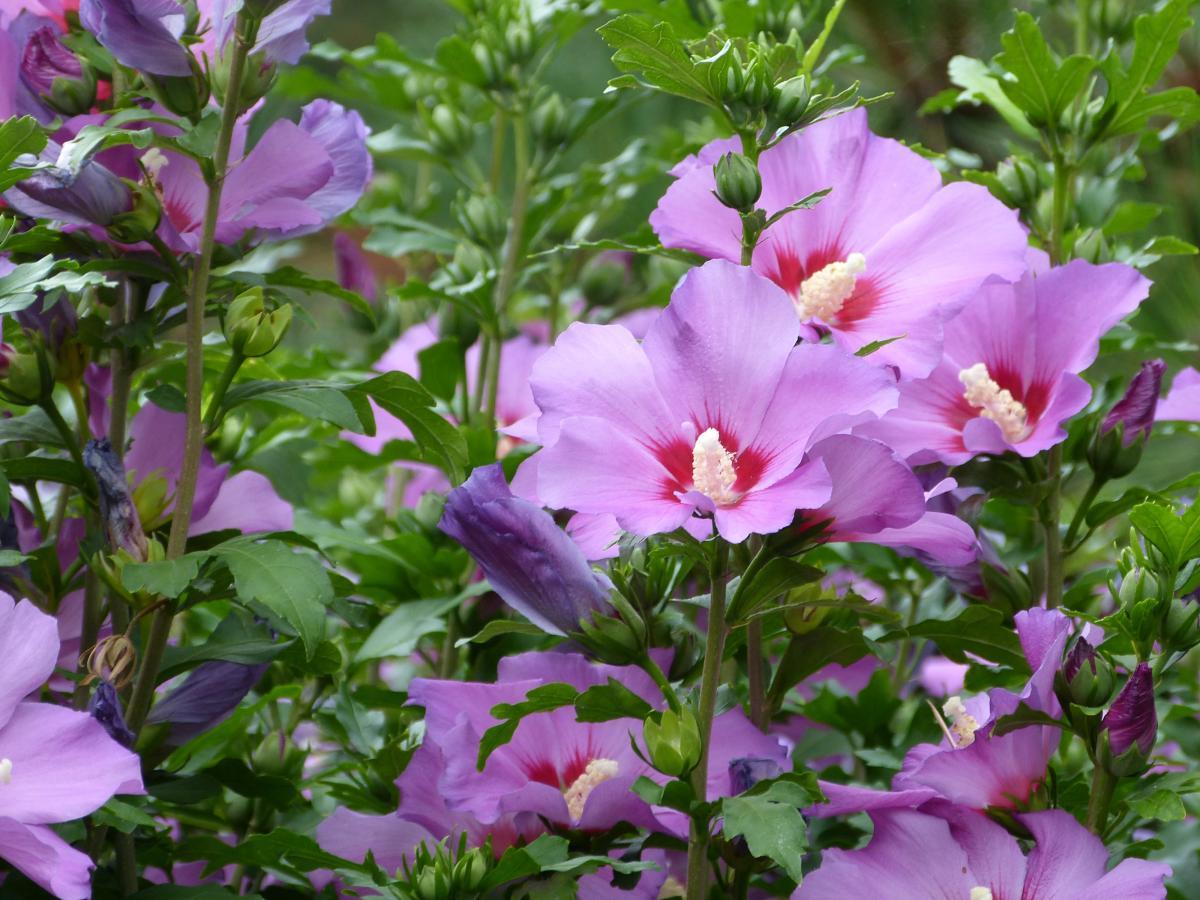 l 39 hibiscus ou althea en fleur entre juillet et octobre. Black Bedroom Furniture Sets. Home Design Ideas