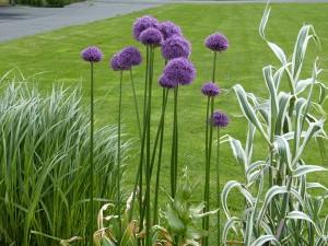 allium-violet-fone