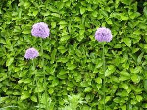 allium-violet