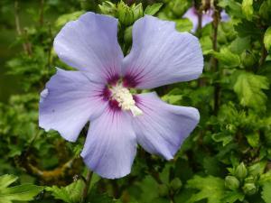 althea-hibiscus-001