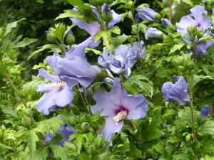 althea-hibiscus-002