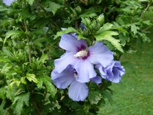 althea-hibiscus-004