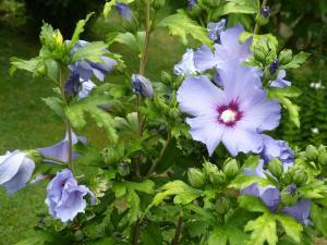 althea-hibiscus-005