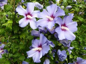 althea-hibiscus-006