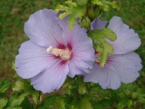 althea-hibiscus-010