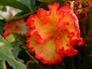 begonia-tubereux-006