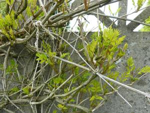 bignone-001-feuilles